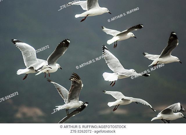 Flock of Cape gulls (Larus dominicanus vetula) in flight, South Africa