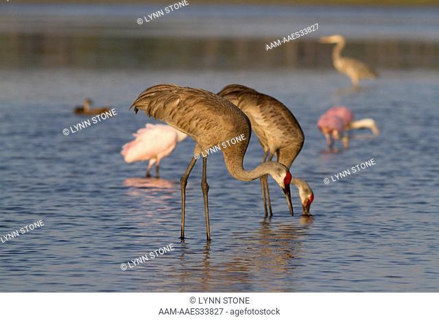 Florida Sandhill Cranes (Grus canadensis pratensis) foraging along lake shore; with Roseate Spoonbills in background; Sarasota, Florida, USA (AA)