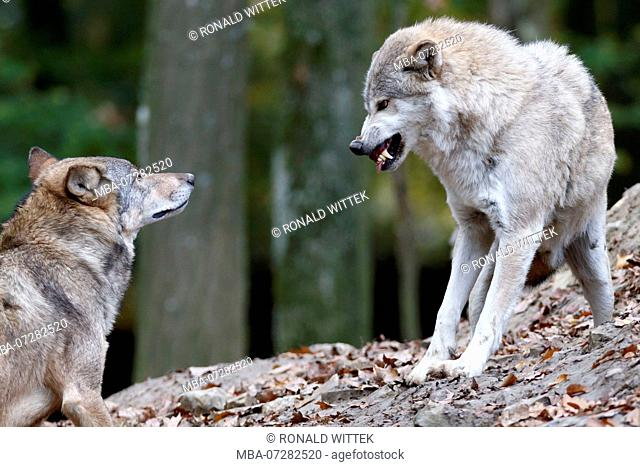 Eastern Wolf, Wolf, Algonquin wolf, (Canis lupus lycaon), captive