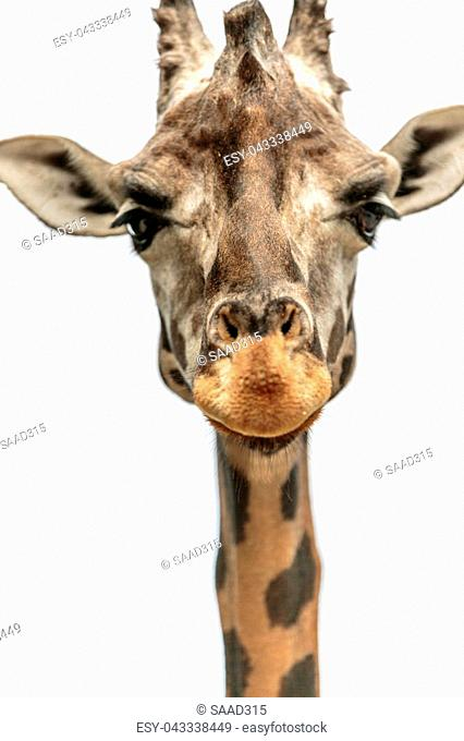 The northern giraffe (Giraffa camelopardalis), also known as three-horned giraffe