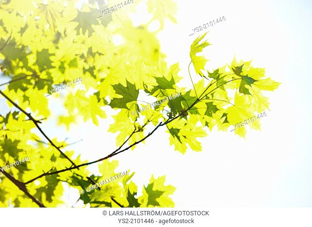 Sunshine and green leaves on a maple tree at spring