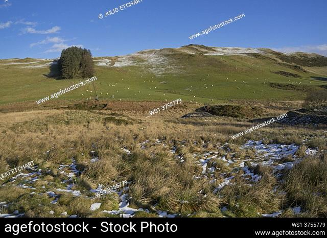 Sheep grazing in the snow in the winter in the hills in Powys, Wales, UK