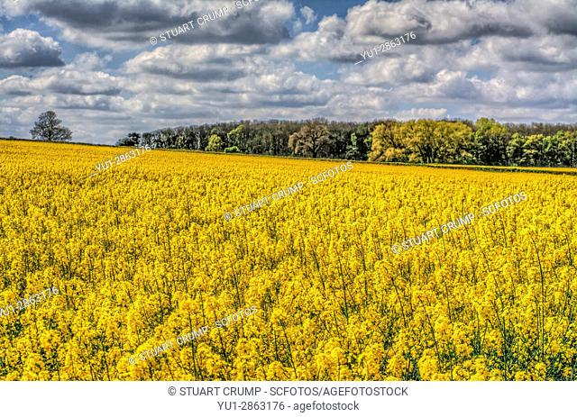 HDR image of clouds over a field of yellow rapeseed in Woodthorpe village, Loughborough, Leicestershire