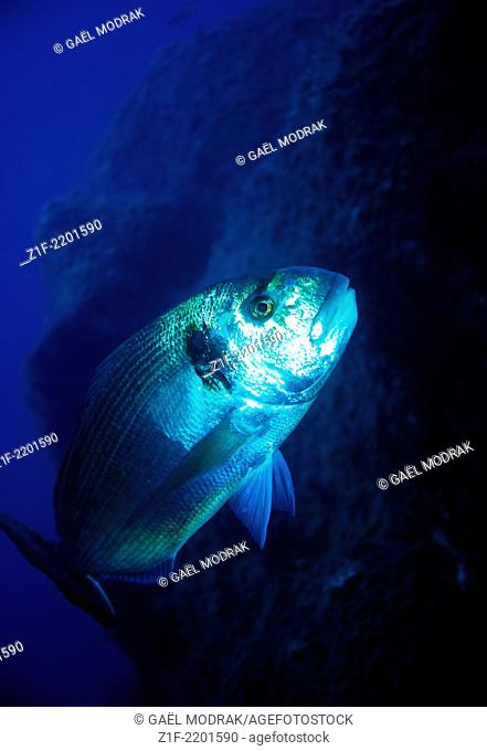 Gilthead seabream swimming in blue water while diving in Corsica. Sparus aurata