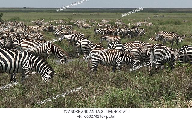 Herd of Zebra foraging together