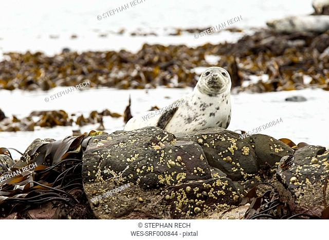 United Kingdom, England, Northumberland, Farne Islands, Atlantic grey seal, Halichoerus grypus