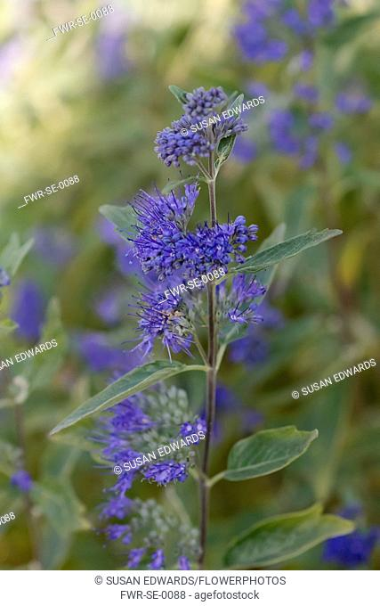 Caryopteris. Single stem in foreground of others with clusters of small, blue flowers with prominent stamens and grey, green leaves