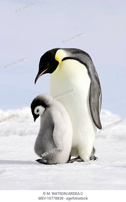 Emperor Penguin - adult and chick (Aptenodytes forsteri)