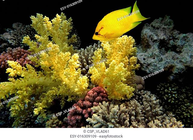 Coral rabbitfish (siganus corallinus) in the Red Sea, Egypt