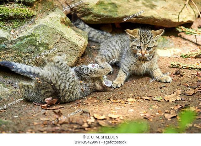 European wildcat, forest wildcat (Felis silvestris silvestris), two kitten romping together on the ground, Germany, Bavaria, Bavarian Forest National Park