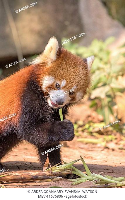 Red Panda / Lesser Panda / Red Bear-cat / Red Cat-Bear controlled conditions