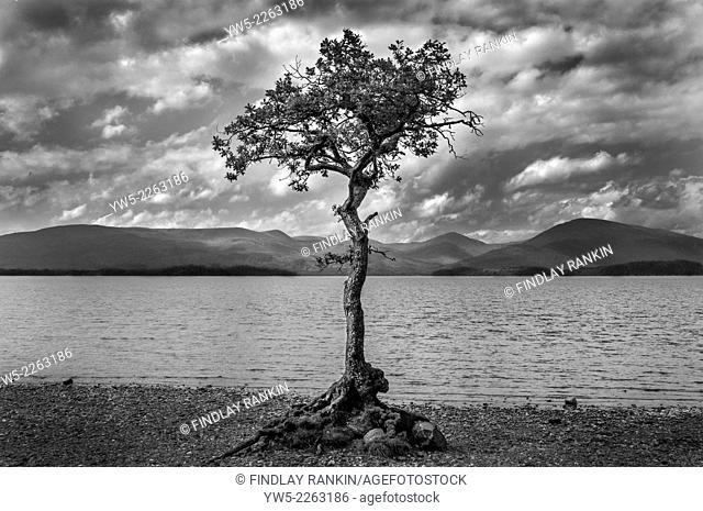 Single tree on the shores of Loch Lomond, Scotland, UK