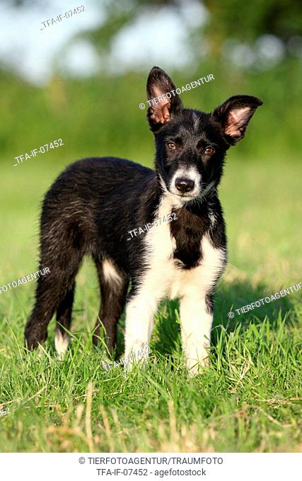 Shorthaired Collie Puppies Stock Photos And Images Agefotostock