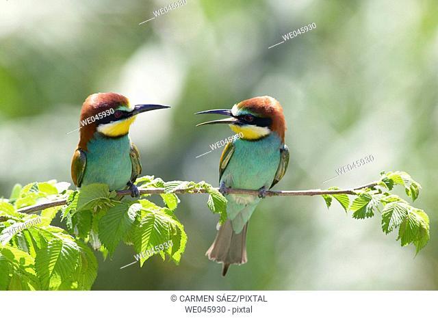 European Bee Eater (Merops apiaster)