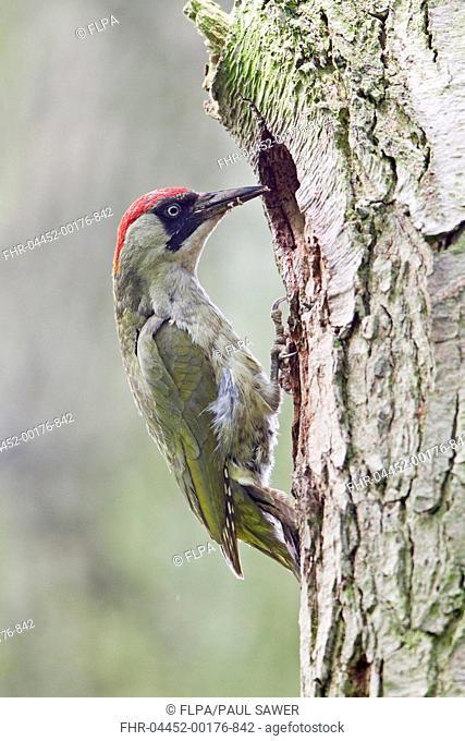 Green Woodpecker Picus viridis adult female, with food in beak, at nest hole entrance in tree trunk, Suffolk, England, may
