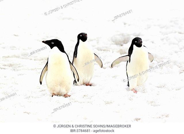 Three Adélie Penguins (Pygoscelis adeliae), adults standing in the snow, Devil Island, Antarctica