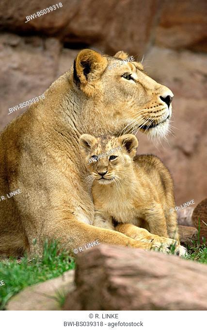 lion (Panthera leo), cub nestling its lying mother