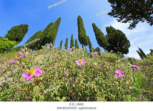 Italian cypress (Cupressus sempervirens), row of trees looming behind blooming rock roses, Italy, Tuscany, Siena