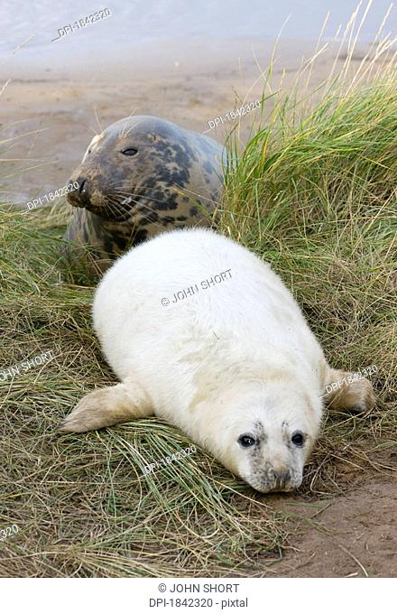 Gray Seal Halichoerus grypus, Donna Nook, Lincolnshire, England, Adult and baby seal