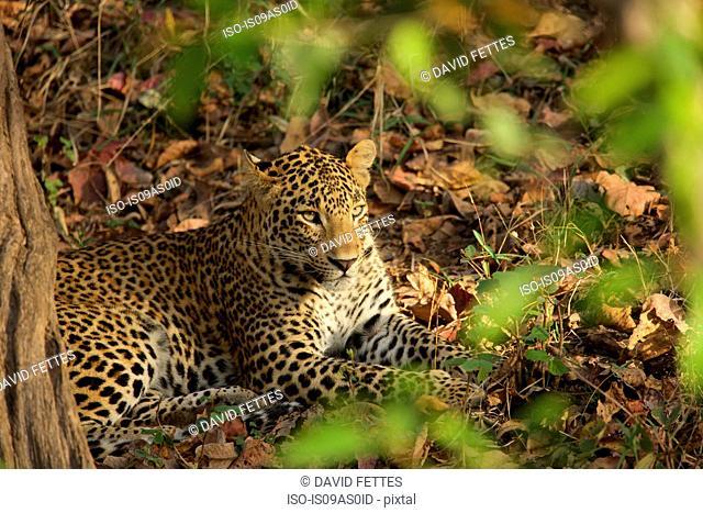Leopard - Panthera pardus, Satpura National Park, Madhya Pradesh India