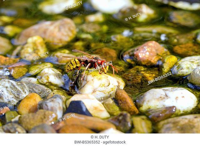 hornet, brown hornet, European hornet (Vespa crabro), drinks water from a creek, Germany