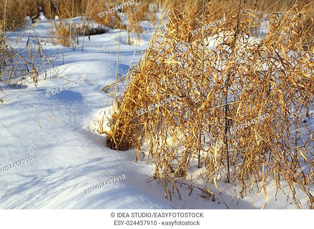 Herbs winter field dry grass white snow, Russia, Moscow region