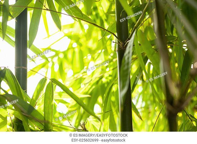Bamboo shots in the Himalayas