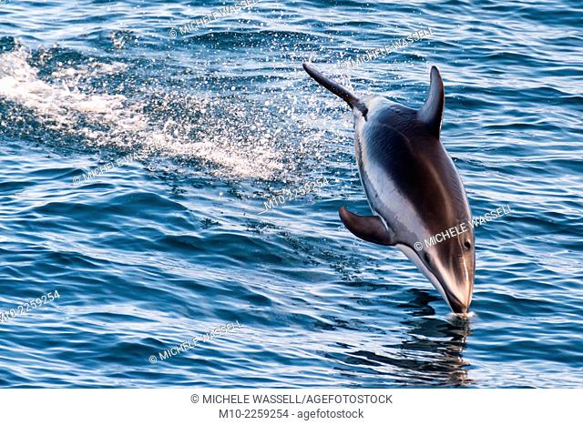A Pacific White Sided dolphin diving back into the water off the central California coast