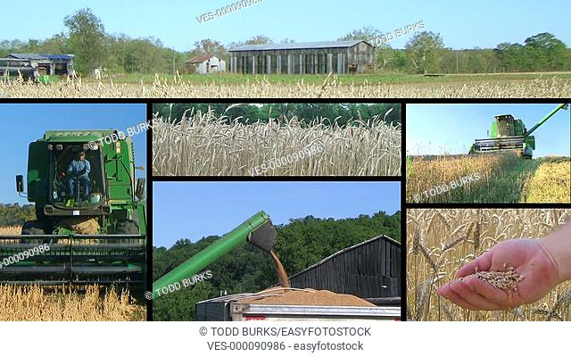 Farmer combining crops during harvest composite