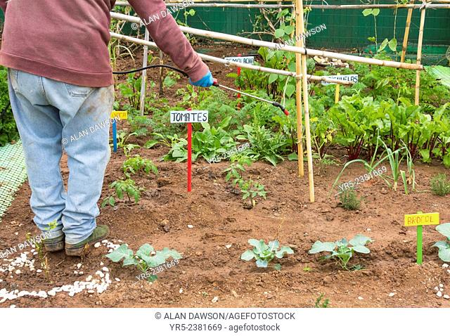 Spraying vegetables with organic liquid fertilizer made from Nettle leaves in city Allotment ( Huerto urbano ) in Las Palmas, Gran Canaria, Canary Islands