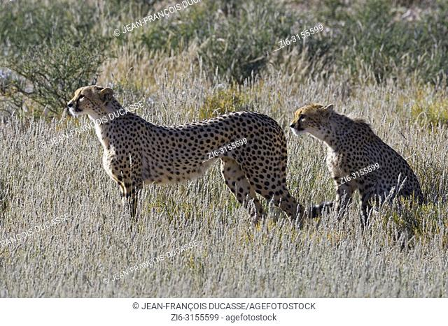 Cheetahs (Acinonyx jubatus) watching the surroundings, alert, Kgalagadi Transfrontier Park, Northern Cape, South Africa, Africa