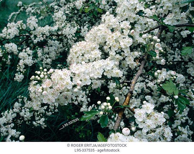 Flowered hawthorn (Crataegus oxyacantha). Viladecans, Catalonia. Spain