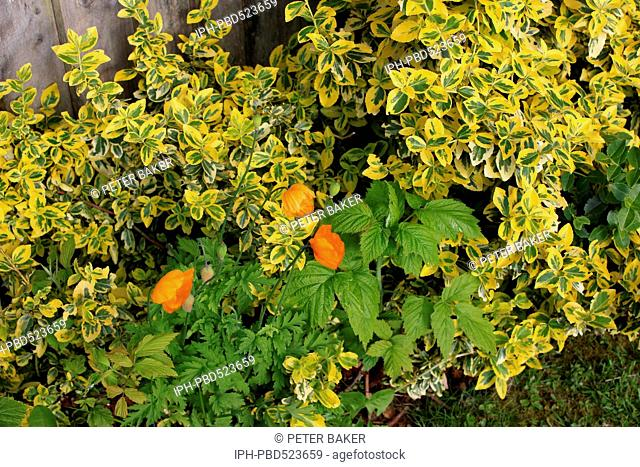 England Dorset Garden Flowers Golden Privet (Ligustrum ovalifolium Aureum) Californian Poppies, and Autumn Fruiting Rasberries