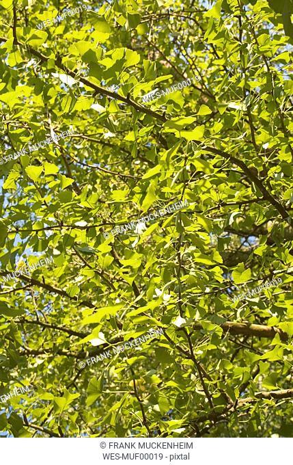 Ginkgo tree Ginkgo biloba, full frame