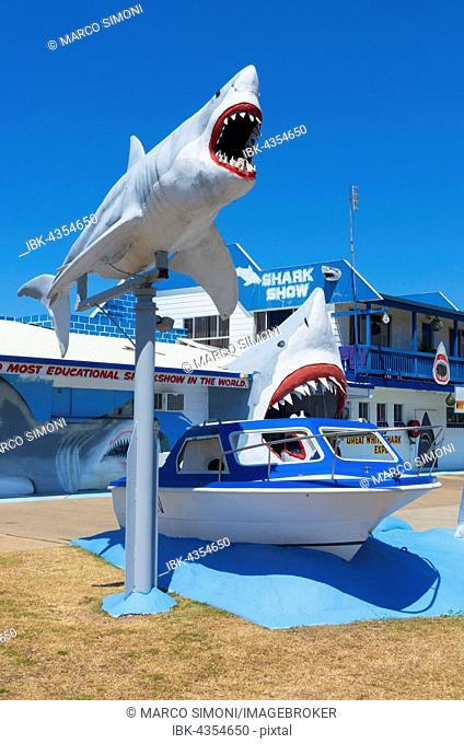 Great White Shark Exhibition, shark show, Hervey Bay, Queensland, Australia