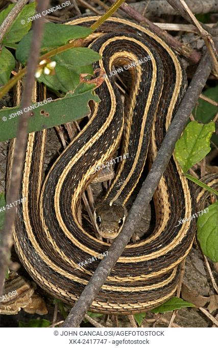 Eastern ribbon snake or common ribbon snake (Thamnophis sauritus sauritus) is a subspecies of ribbon snake found in the northeastern United States, Virginia