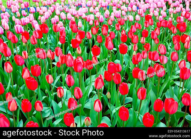 Beautiful tulips in the spring time.Colorful tulips background