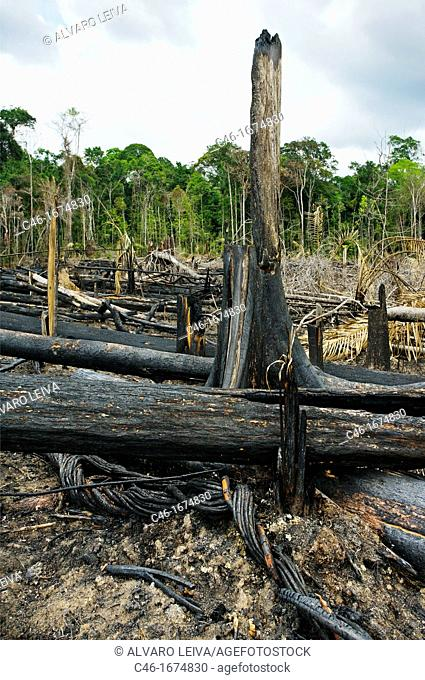 The Amazonian rainforest, the world's largest, is under siege from illegal loggers who export its hard woods to the US, European Union