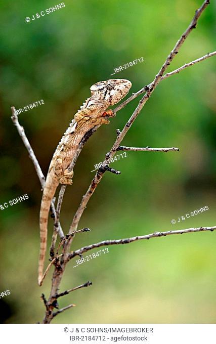 Warty Chameleon (Furcifer verrucosus), adult, foraging, Madagascar, Africa