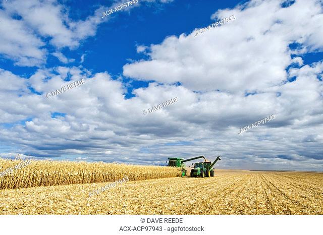 a combine harvester empties into a grain wagon on the go during the feed/grain corn harvest, near Niverville, Manitoba, Canada