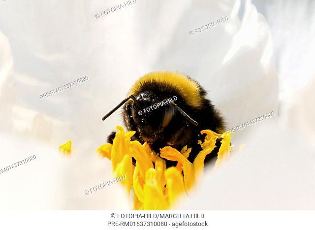 Bumblebee (Bombus) sitting on peony blossom, Germany / Hummel (Bombus) auf einer Pfingstrosenblüte, Deutschland