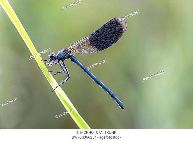 banded blackwings, banded agrion, banded demoiselle (Calopteryx splendens, Agrion splendens), sitting on a sprout, Germany