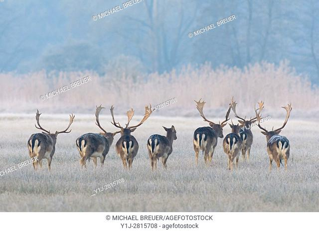 Herd of Fallow Deers in Winter, Cervus dama, Hesse, Germany, Europe