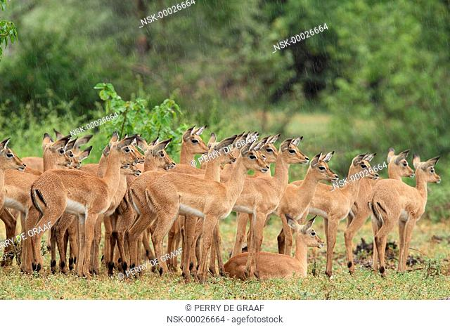 Herd of young Impala (Aepyceros melampus) in the rain, South Africa, Limpopo, Kruger National Park