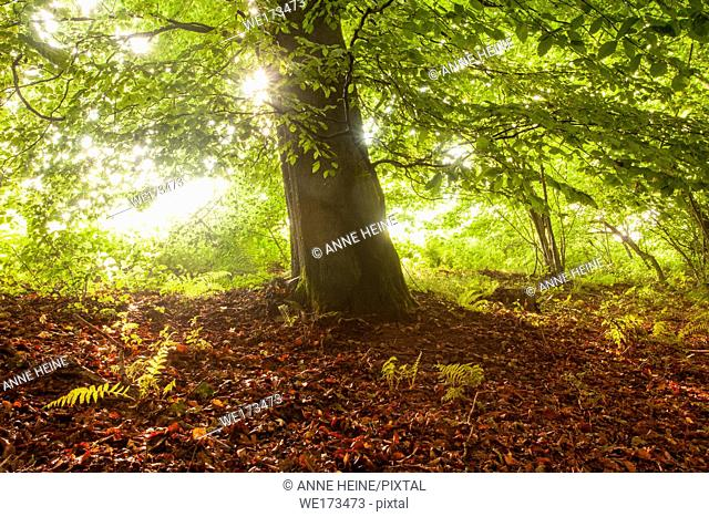 Beech tree with rising sun backlighting leaves. Belecke, Arnsberger Wald, Sauerland, Germany