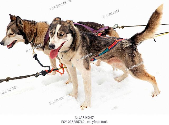 Sled dog in High Tatras mountains, Slovakia