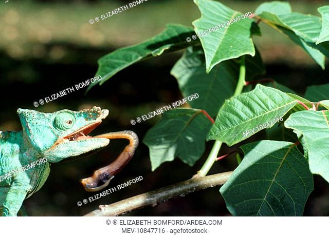 Parson's Chameleon - tongue extruding from mouth (Calumma parsonii)