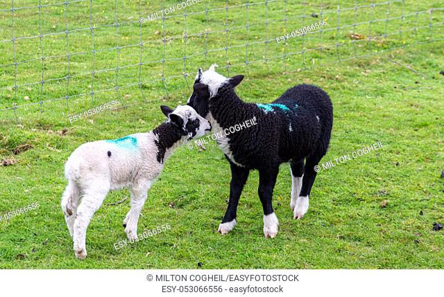 Two cute lambs in a green field on a farm