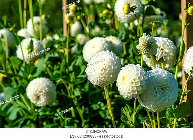 aster anda flowers