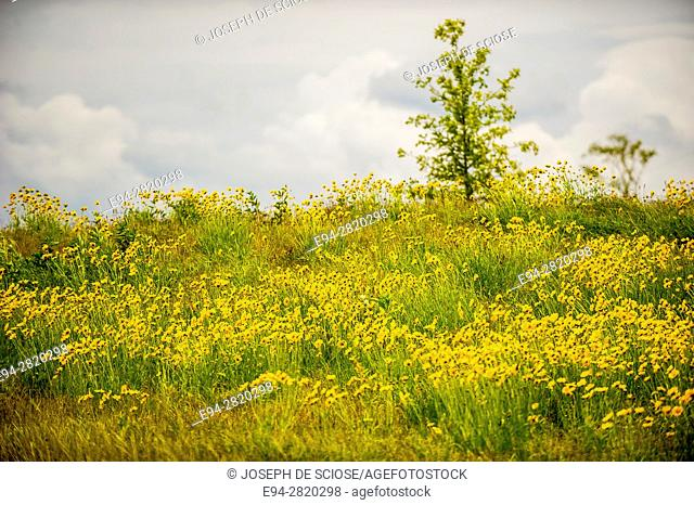 Hillside of Lancelet coreopsis flowers in the spring, blowing in the wind